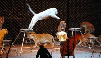 Circus big cats