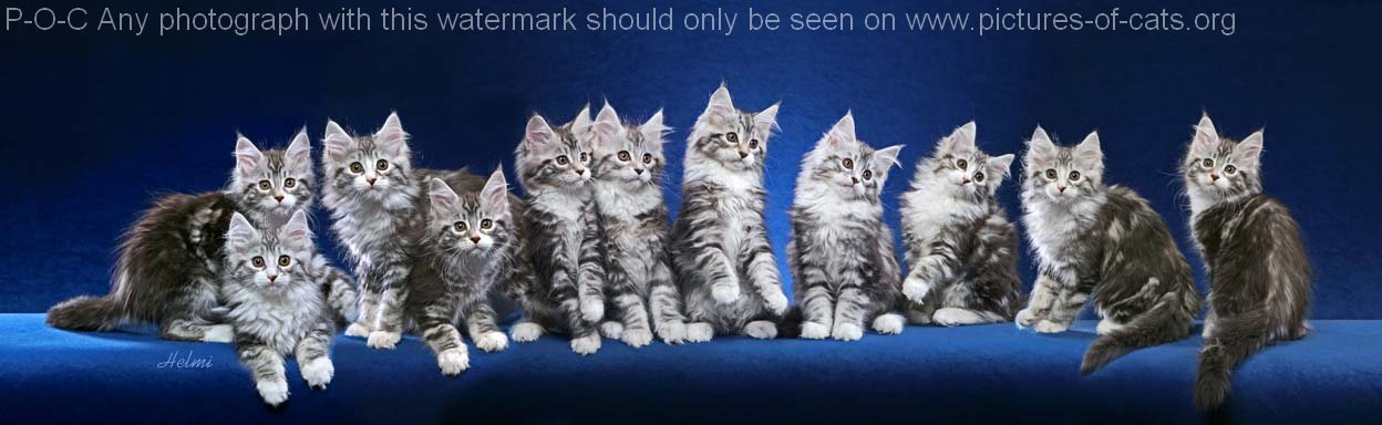 composite of maine coon cats