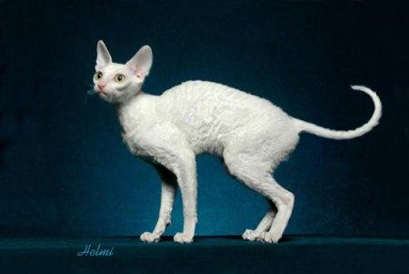 Cornish Rex Cat   PoC