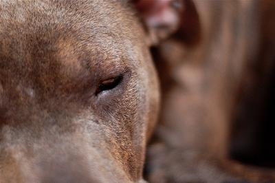 Are pitbulls aggressive or is it that the human caretaker is aggressive? - photo  Rebekah Pavlovic (Flickr)