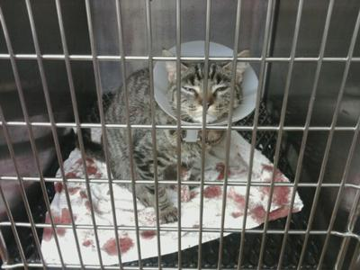 Declawed cat suffering in a small cage.