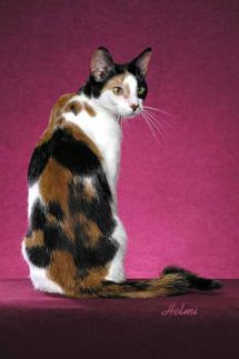 domestic cat moggie