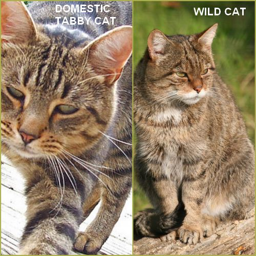 Domestic tabby compared with wild cat ancestor. Very similar.