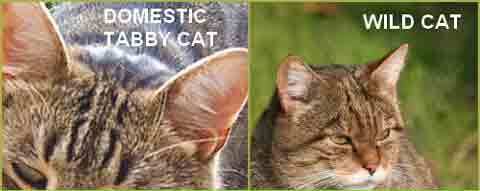 wild cat to domestic cat comparison of ear shape and size