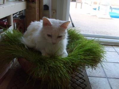 LOVES the cat grass !