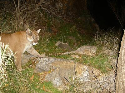 California cougar caught in homemade camera trap - photo randomtruth (Flickr)