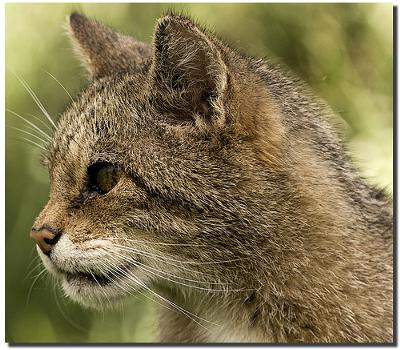 Scottish Wild cat - Photo by gnasheruk