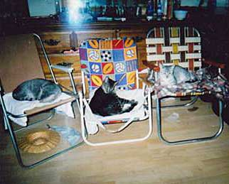 Egyptian Mau cats on chairs