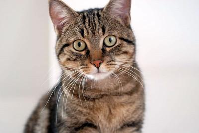 European Shorthair - beautiful brown mackerel tabby QUINCY (more below)