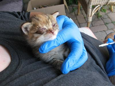 Barn Kitten with conjunctivitis - photo Lee (Flickr). I have used this sad picture before.