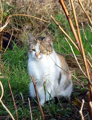 Female feral cat at the allotments