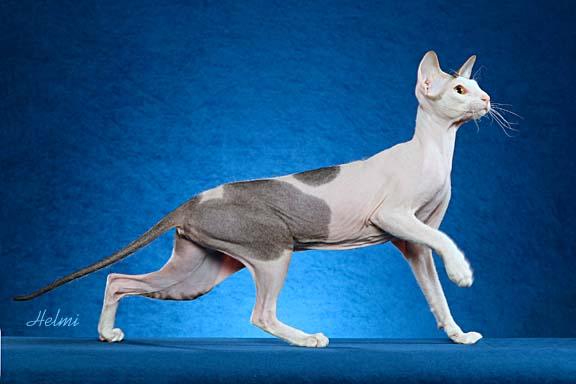 Peterbald cat