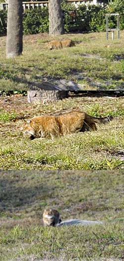 Unknown Florida Wildcat Poc