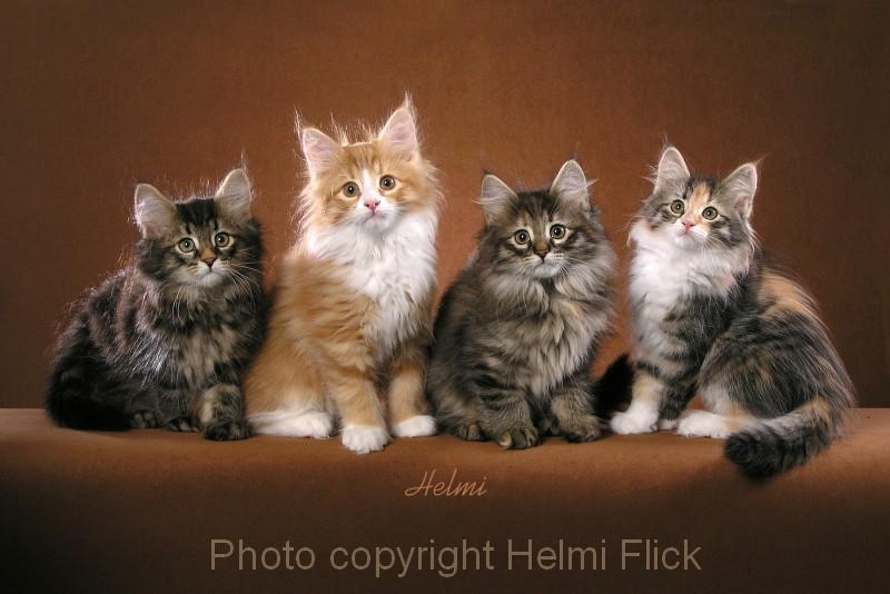 Four Norwegian Forest Cat Kittens Poc
