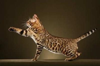 Bengal Cat Vegas - Photo copyright Helmi Flick