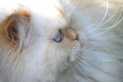 Himalyan Cats