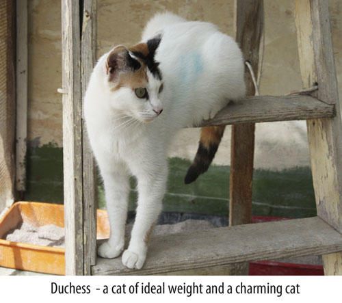 Ideal weight cat