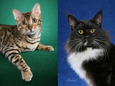 Bengal X Maine Coon - both photos copyright Helmi Flick - photo collage added by Michael