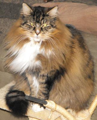Jerico - Is Jerico a Maine Coon cat?