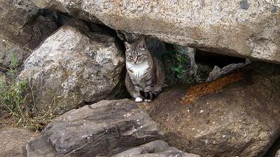 Picture of a Californian feral cat added by MIchael (Admin) - photo by toastiest (Flickr)
