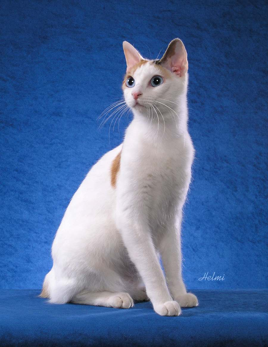 Japanese Bobtail cat - pictures of cats