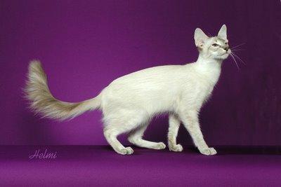 What Does Javanese Cat Look Like