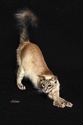Javanese Cat – PoC
