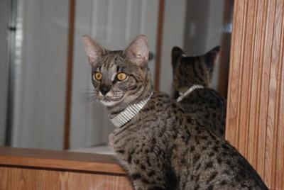 Savannah Cat Sale Florida