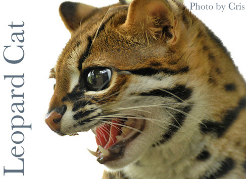 The Reason Why the Chinese Failed in Domesticating the Wild Cat