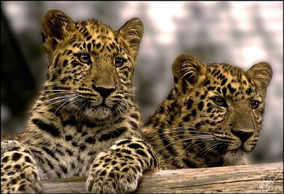 Amur Leopards - Photo by ~~Tone~~ (Flickr)