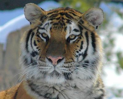 Tiger at Columbus Zoo - photo by Valerie (ucumari on Flickr)