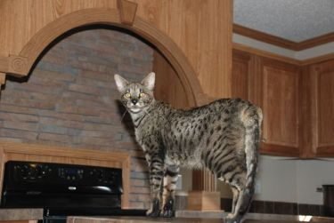 A1 Supremes Savannah Cat - photo copyright Kathrin Stucki