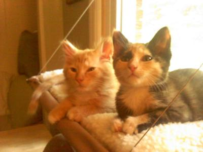 Ranger (orange) and his sister Gri (calico) shortly after we brought them home.
