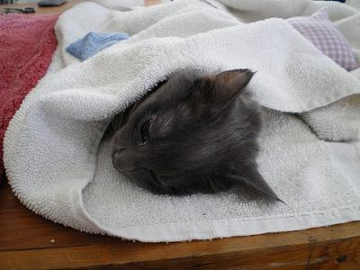 Zonked female cat at spay and neuter clinic - Photo by Average Jane (Flickr)
