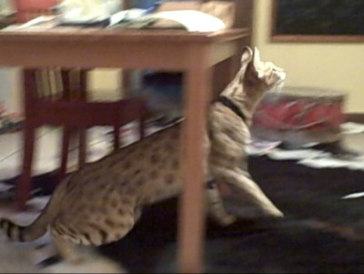 Savannah cat Magic jumping onto Andreas Stucki's bed