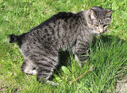 manx cat in grass