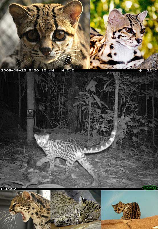 Margay wild cat pictures