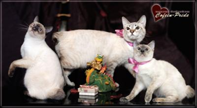 Mekong bobtail cats: chocolite point, seal tabby point, blue cream torty point. Cofein Pride cattery