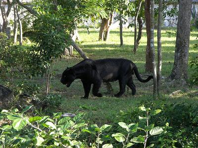 Black Jaguar in Xcaret, Mexico - photo added by Michael (Admin) to illustrate page - photo by sunface13