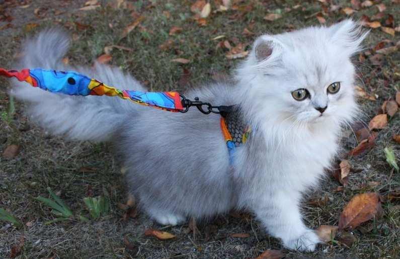 Miniature Cat Scooter 1 Poc