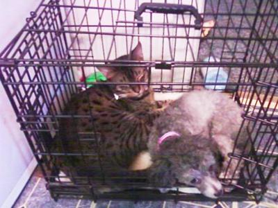 Tiger (Bengal cat) and Fluffy (miniature poodle)