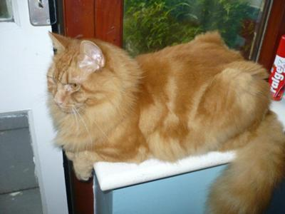 My red tabby with big bushy tail thick winter coat and full ruff who I think is a runaway siberian