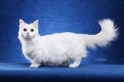 Napoleon dwarf cat