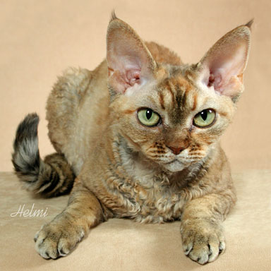 Devon Rex Cat - Reduced Shedding Cat Breed - Photo copyright Helmi Flick