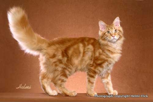 Orange Tabby Cat Picture Poc