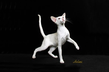 White Oriental Shorthair cat