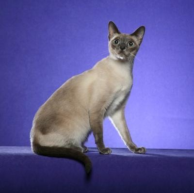 Sarsenstone Bliss of Cortez Cats, a Thai, photo by Helmi Flick