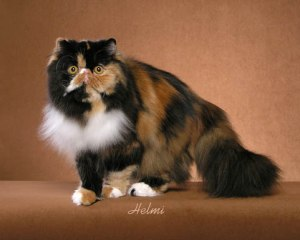 Persian Cat Breeders In Ohio | PoC