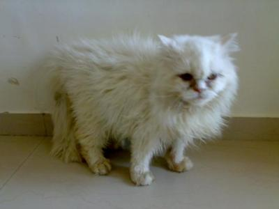 Persian Cat for sale — Mumbai | PoC
