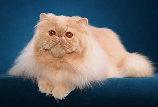 Persian Cat Breeding Poc